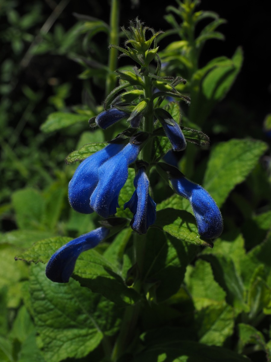 This is a true blue salvia note the leaf shape.