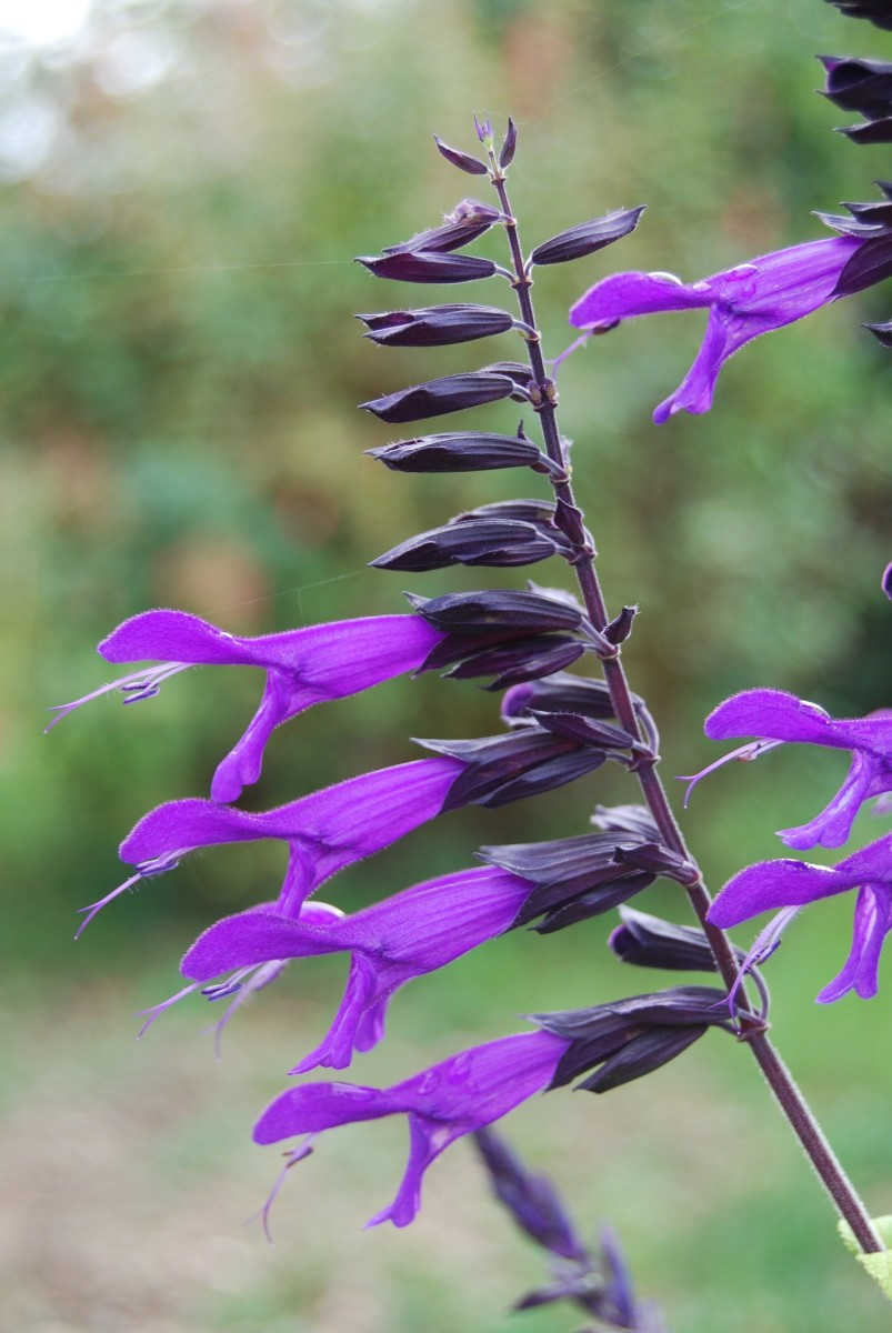 Beautiful close-up view of the general structure of a salvia.  Note the gorgeous dark purple calyx of this salvia cultivar.