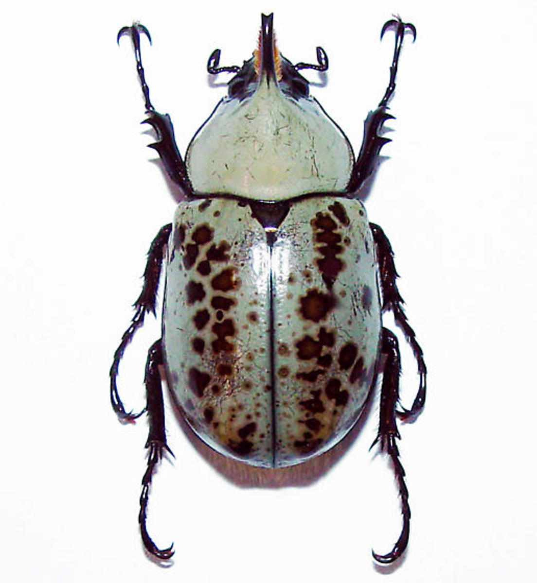 This is another look of a minor male hercules beetle.  Note that he is smaller than the one in the photo above and lacks fully-developed pincers.  Some minor male beetles lack pincers altogether.