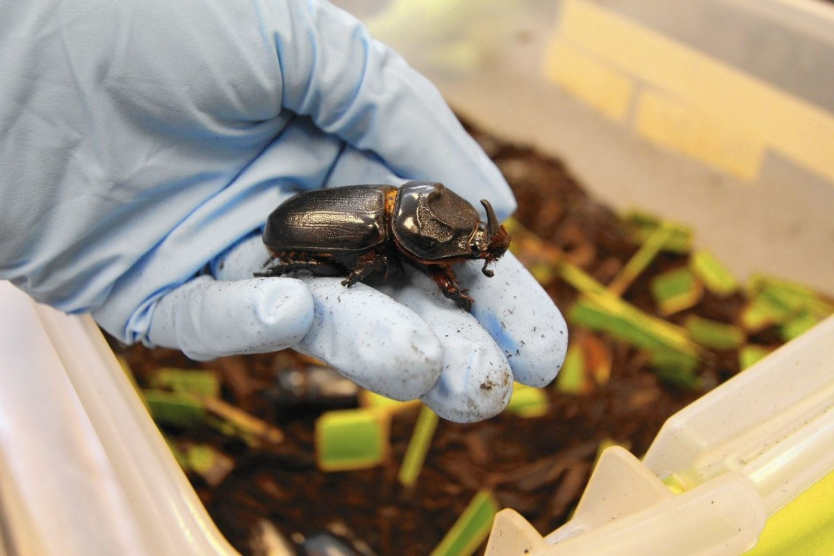 The coconut rhinoceros beetle. Both males and females possess a similarly-sized horn; the horn length is longer on average for male beetles.