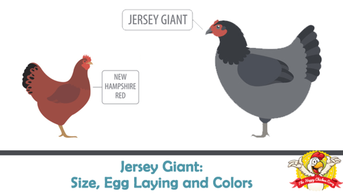Size comparison to New Hampshire Red Chicken