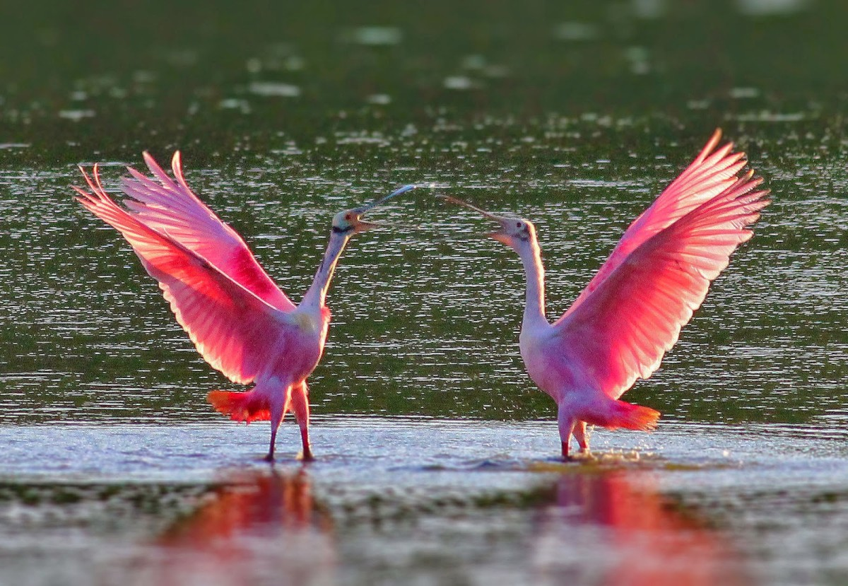 Male Roseate Spoonbill aggression