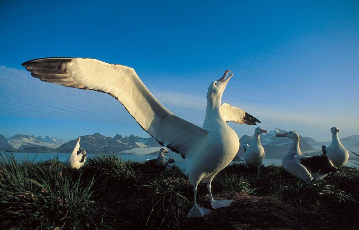 Wandering Albatross flock