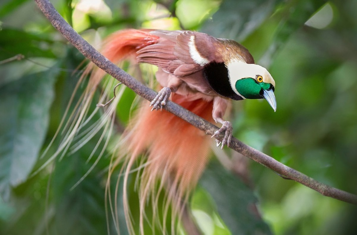 Male Raggiana Bird-Of-Paradise