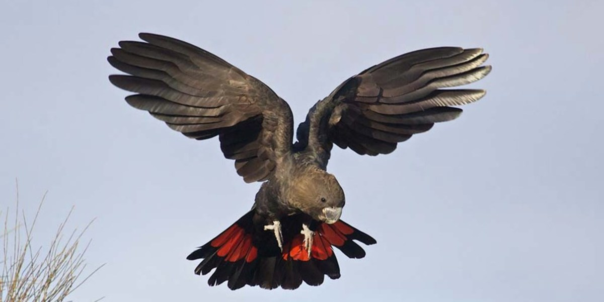 Glossy Black Cockatoo in flight