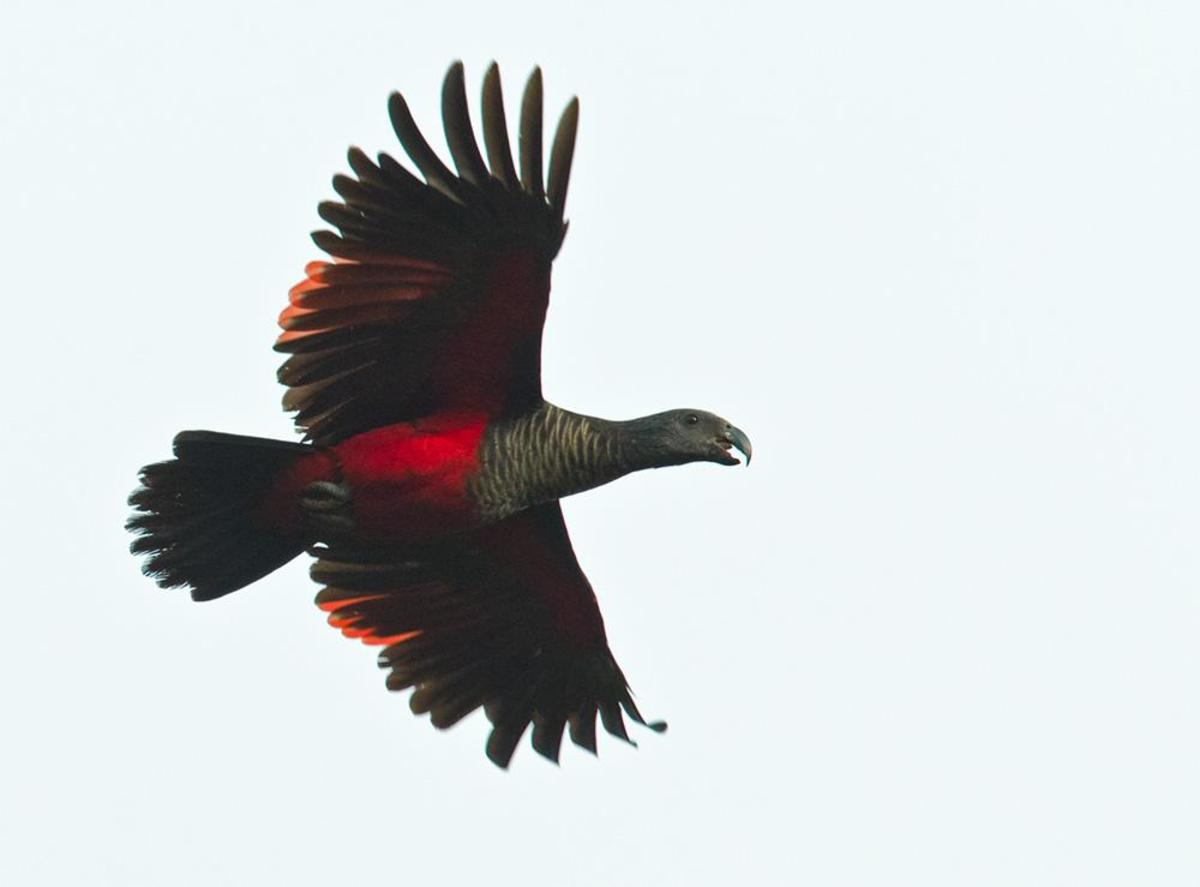 Pesquet's Parrot in flight