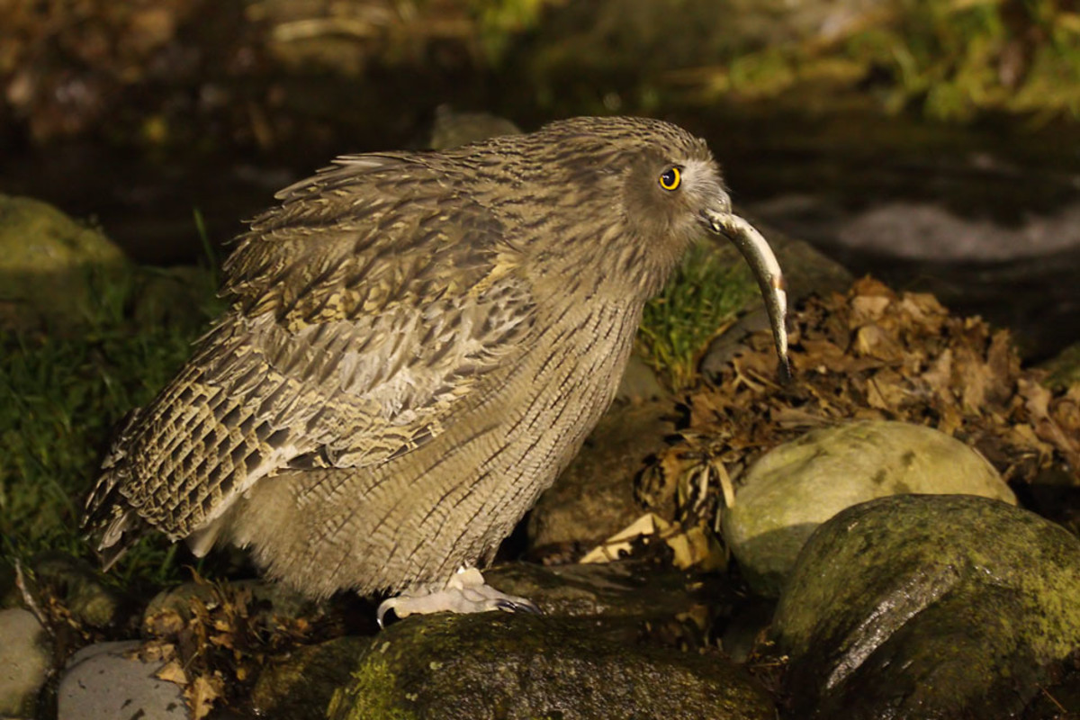 Blakiston's Fish Owl eating a fish