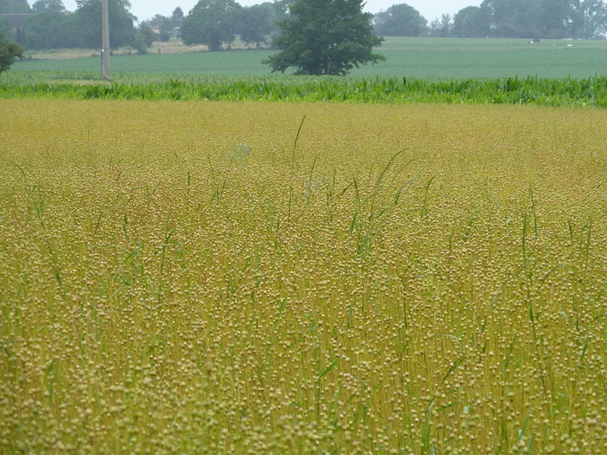 Flax Field in Saives