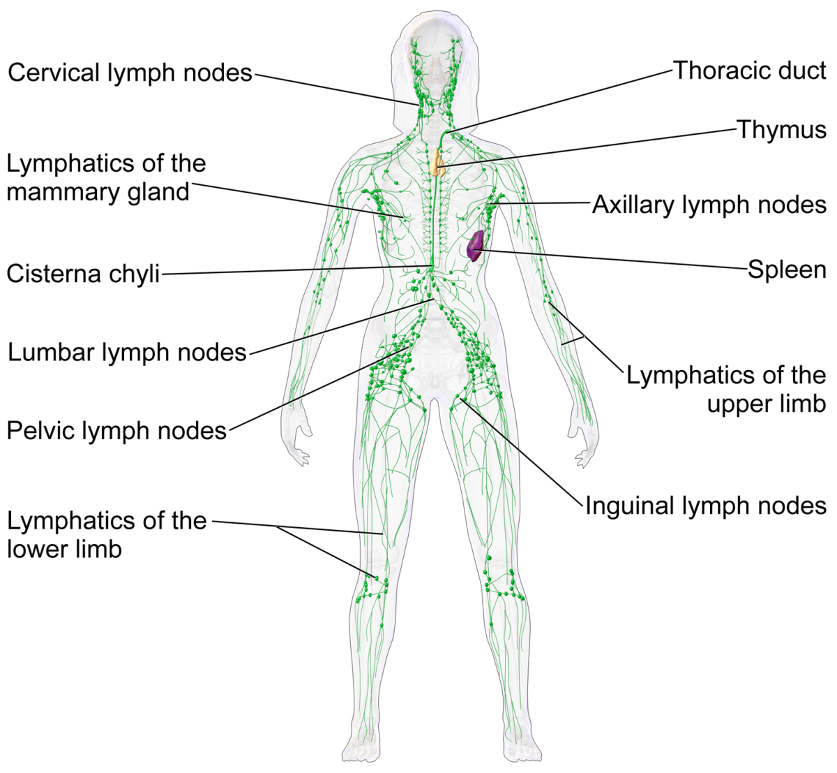 Lymphatic system of a female