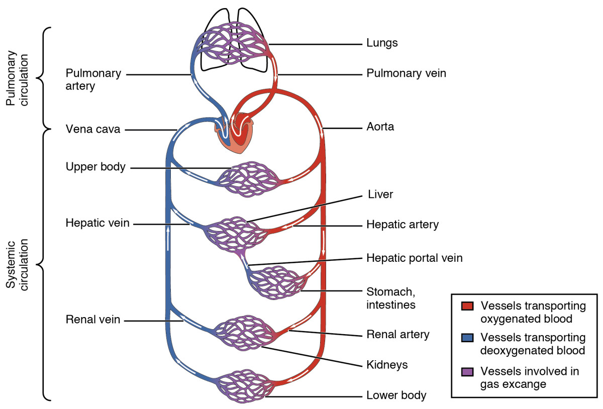 A highly simplified illustration of the human circulatory system