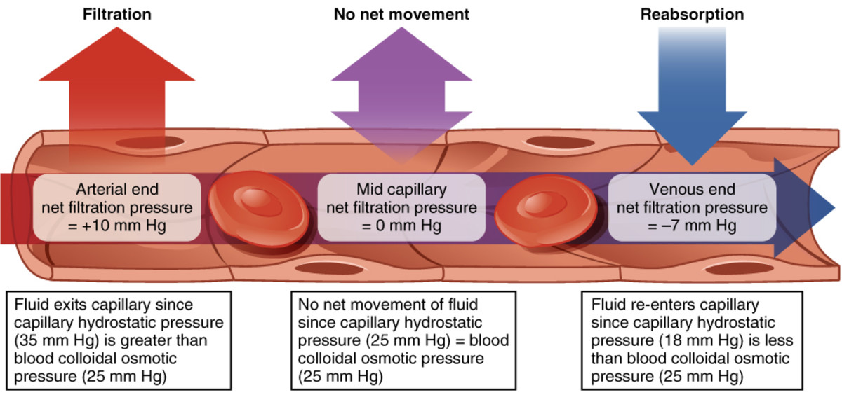 A more detailed description of fluid movement out of and into a capillary