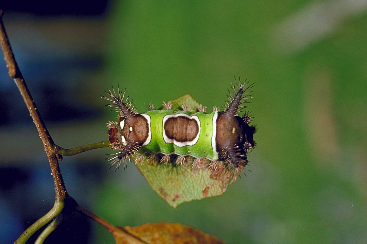 Saddleback caterpillars are attractive but should be admired from a distance.