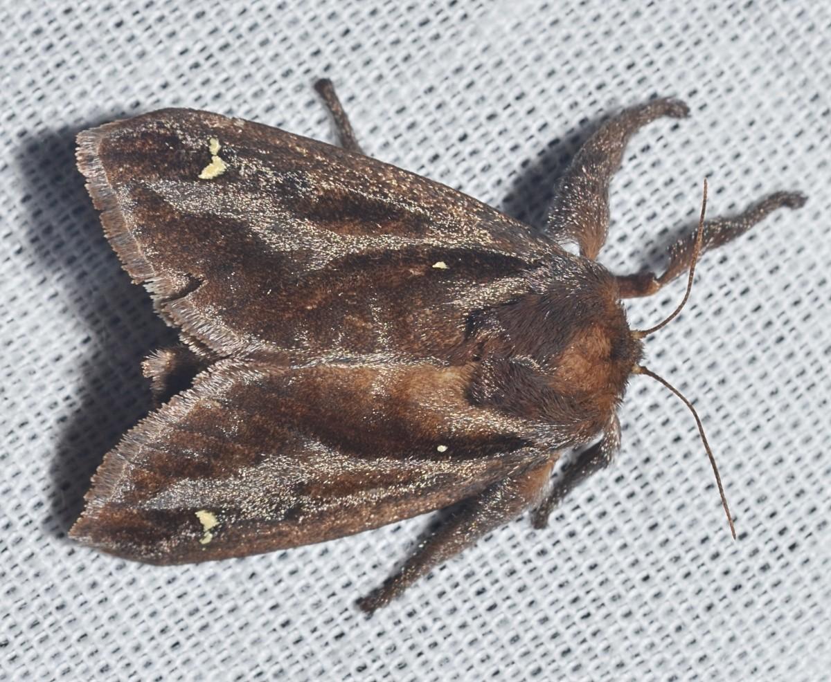 A saddleback caterpillar moth