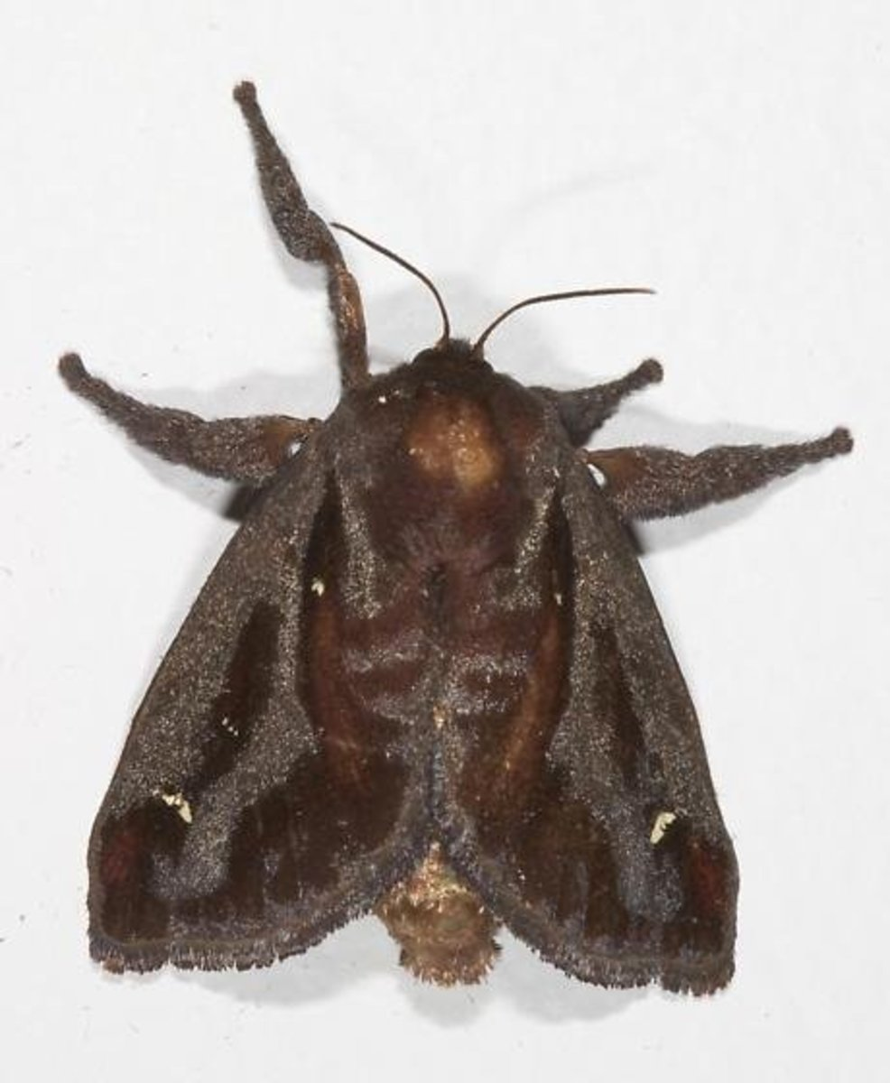 Dorsal view of a saddleback caterpillar moth.