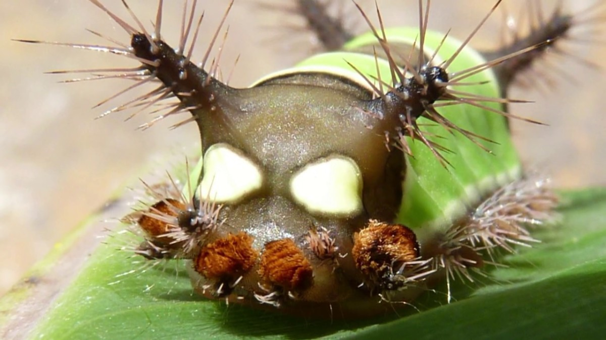 Seeing the hairs on the saddleback caterpillar up close in the larvae stage makes it easier to understand why people should not pick them up.  Check out the sharp ends of the hairs, all of which are loaded with irritating venom.