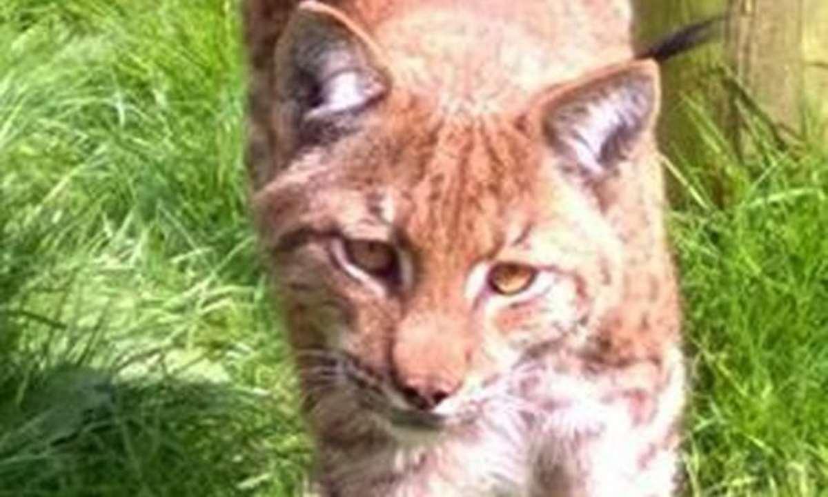 Flaviu the lynx, prior to his escape.