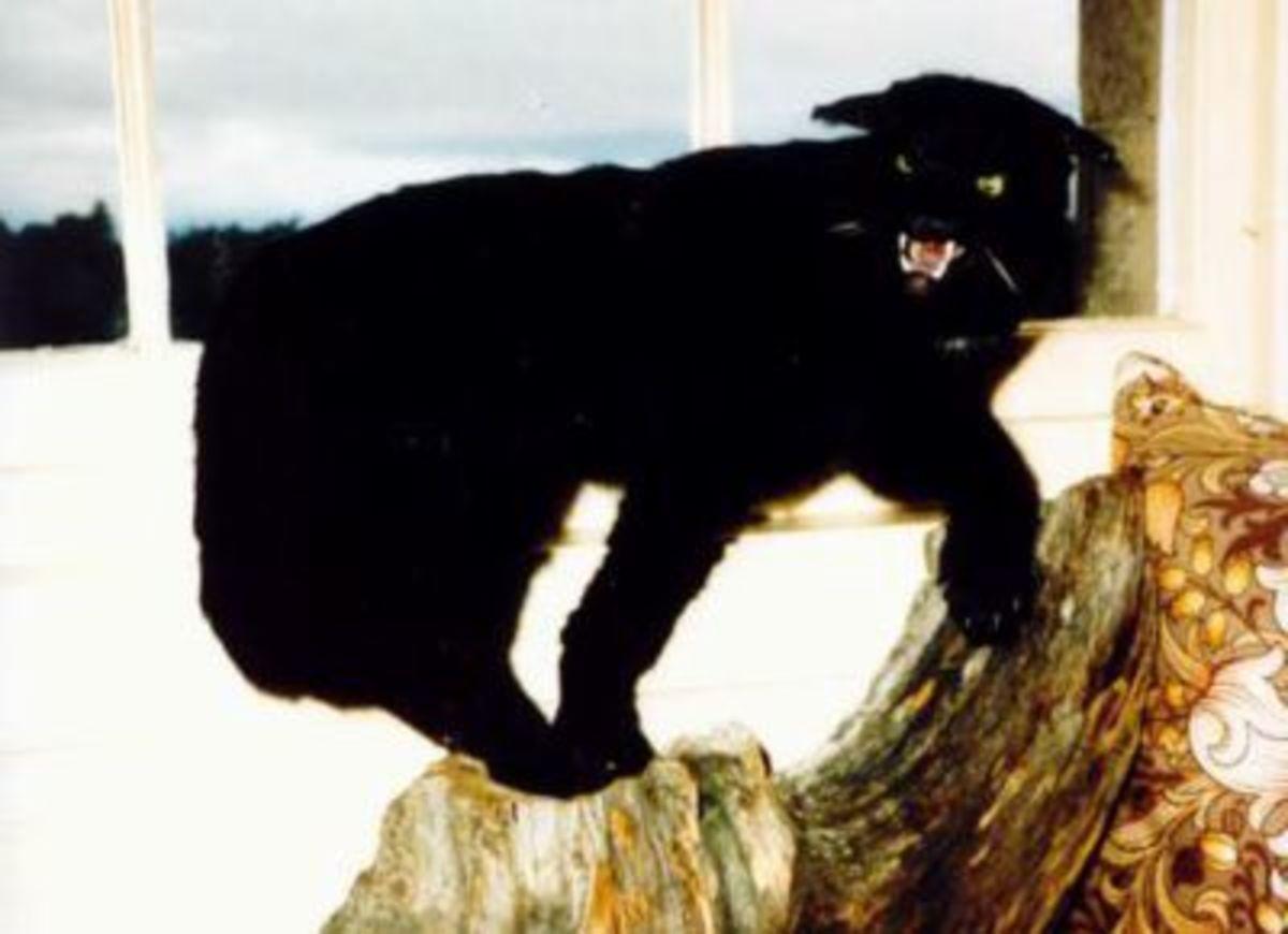 A Kellas cat specimen.
