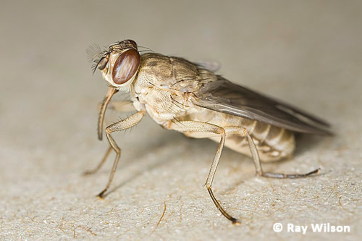 The tsetse fly (Glossina spp.) is a vector of African sleeping sickness