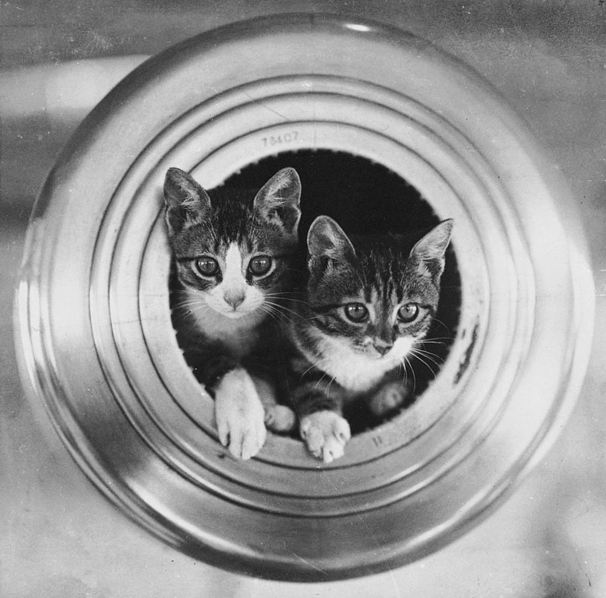 More ship's cats this time nestled in a 7.5 inch gun barrel aboard HMS Hawkins.