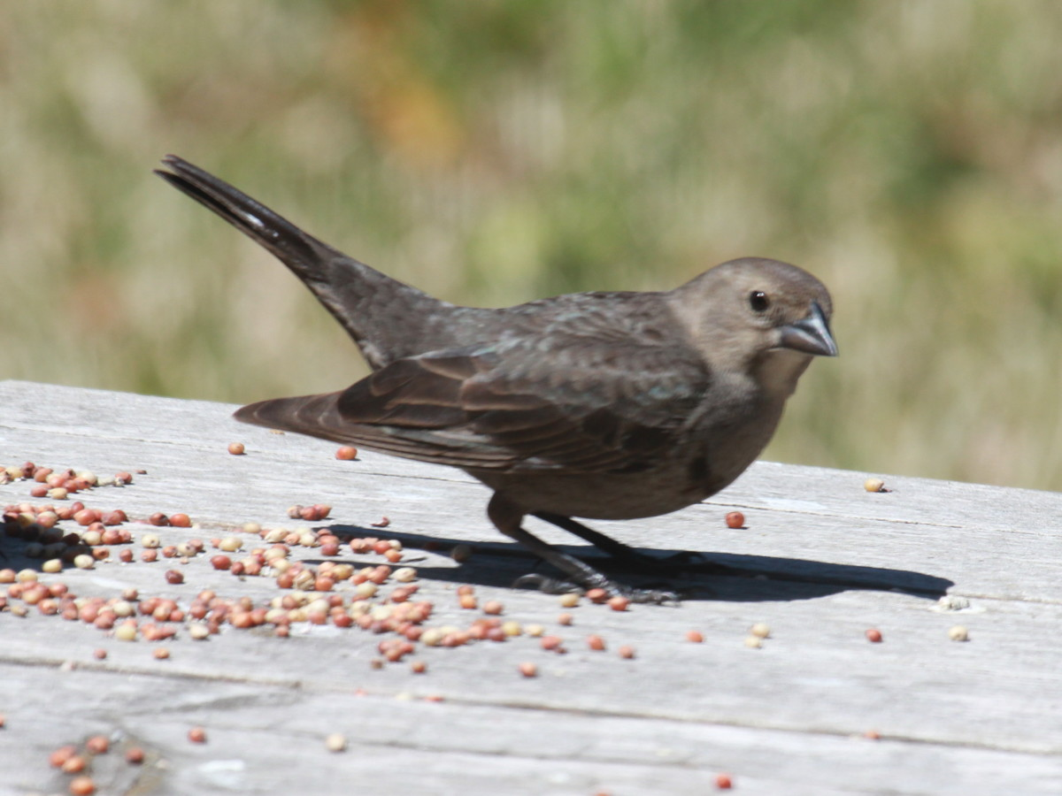 The female cowbird actually replaces an egg in the nest of another bird with one of her own, so maybe she is the actual devil of birds.