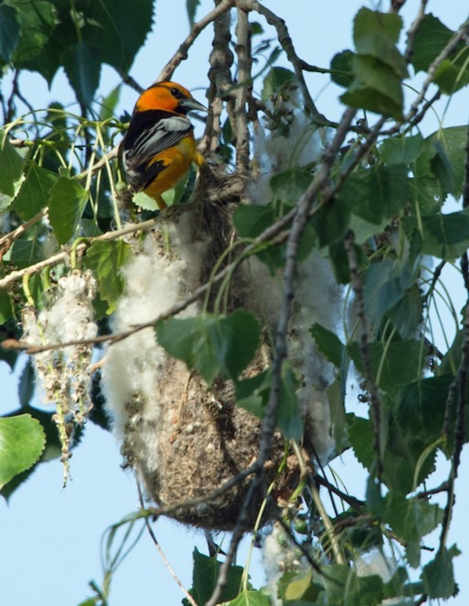 The Bullock's oriole female selects the site for her nest, which is usually suspended from the ends of flexible branches of an isolated tree in an attempt to discourage predators. Both will guard the nest.