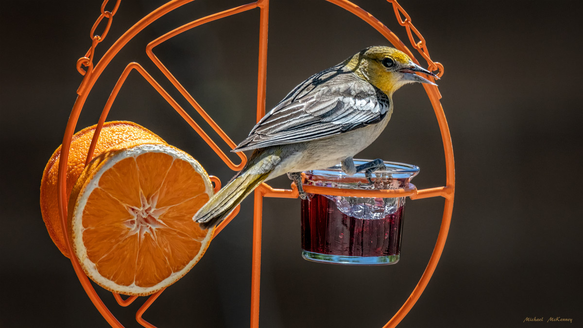 Female Bullock's orioles are washed in gray and a pale orange and are much less vibrant than the males.  They remain paired up throughout the breeding season but may find other mates in later years.  We chose this simple feeder, which they love.