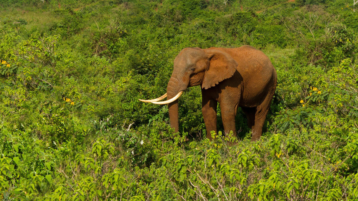 Habitat fragmentation due to agriculture and logging is one of the biggest threats to African forest elephants