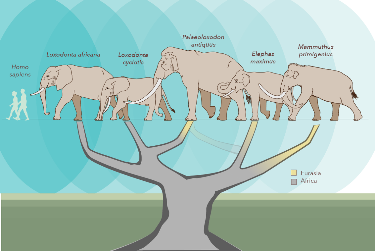 Revised genetic tree showing relatedness in the elephants