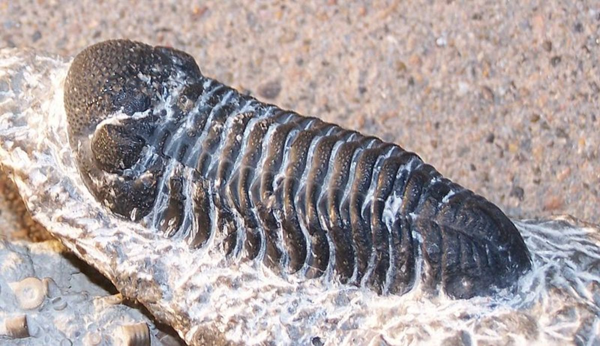 Example of a trilobite fossil.