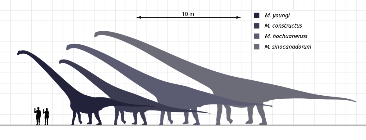 Sauropod species were huge. See how humans measured against these massive herbivores.