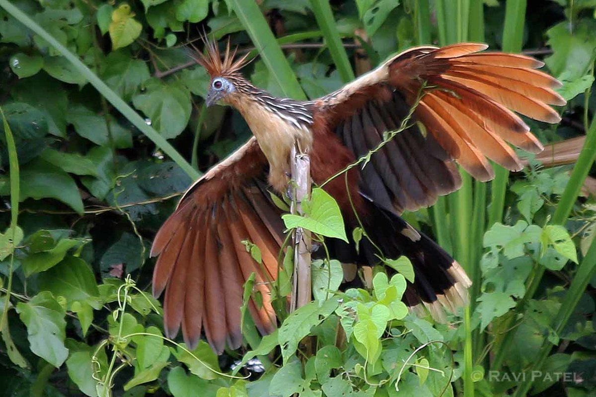 Hoatzin Spreading its Wings