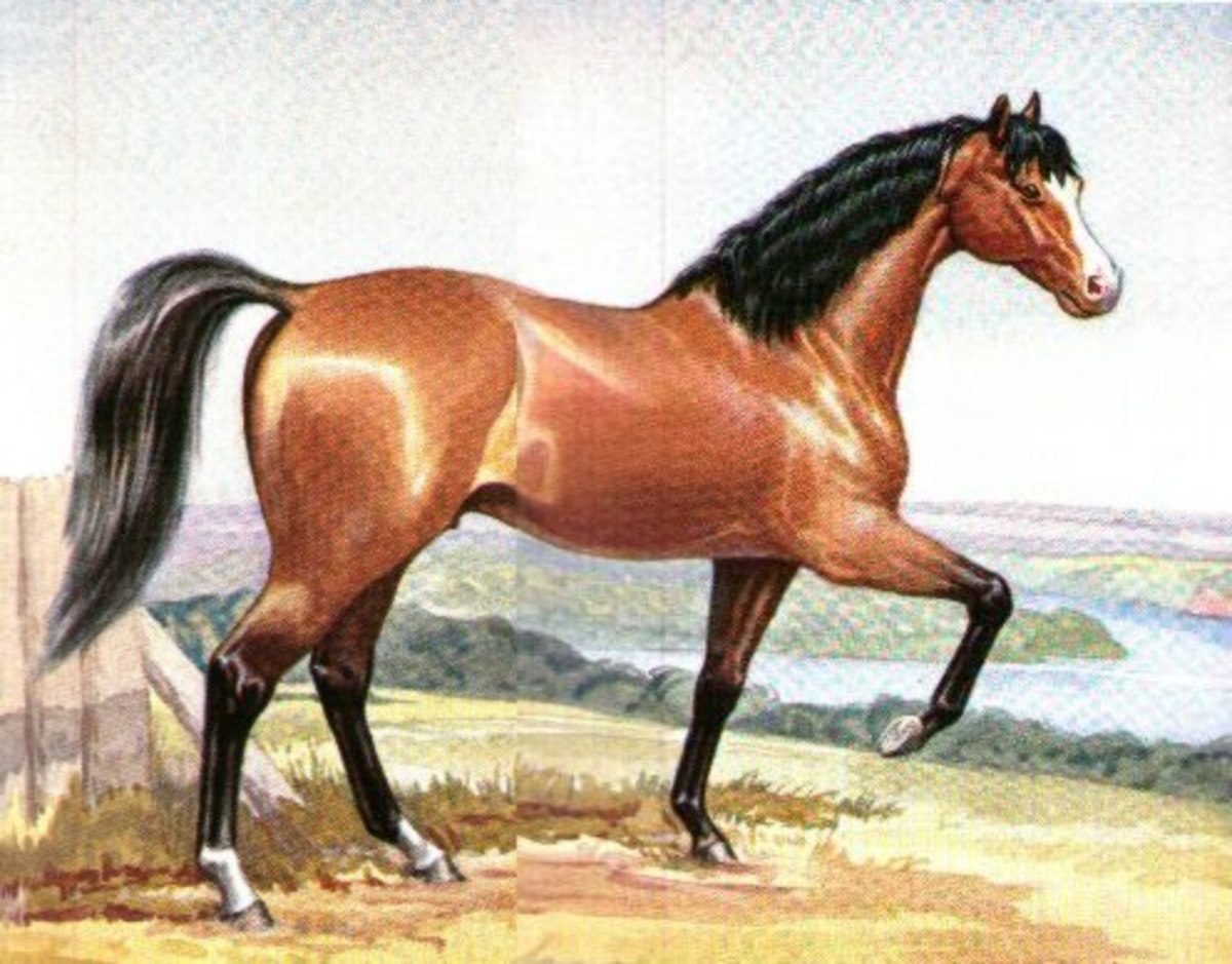 Old Hector (c. 1792-1823) was a sire of Walers, trotters and was an important sire in colonial Australian bloodhorse breeding.