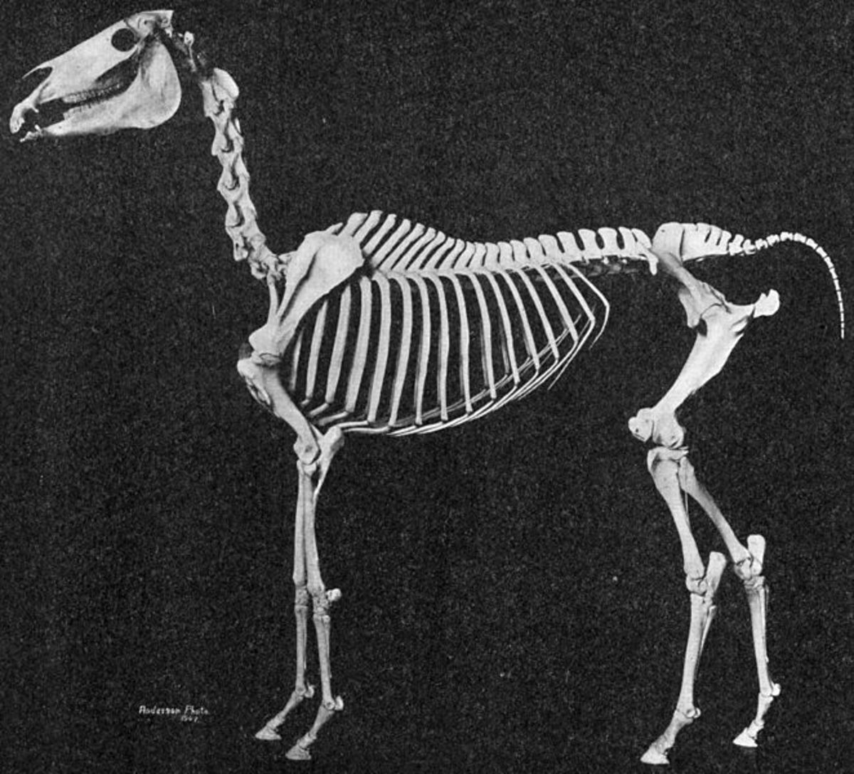 This skeleton shows the underlying structure of breed characteristics including short back, high-set tail, the distinction between level croup and well-angulated hip. This specimen also has only five lumbar vertebrae.