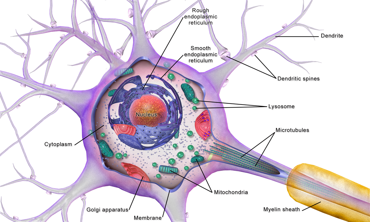 Cell body of a human neuron with an axon covered with myelin extending away from it
