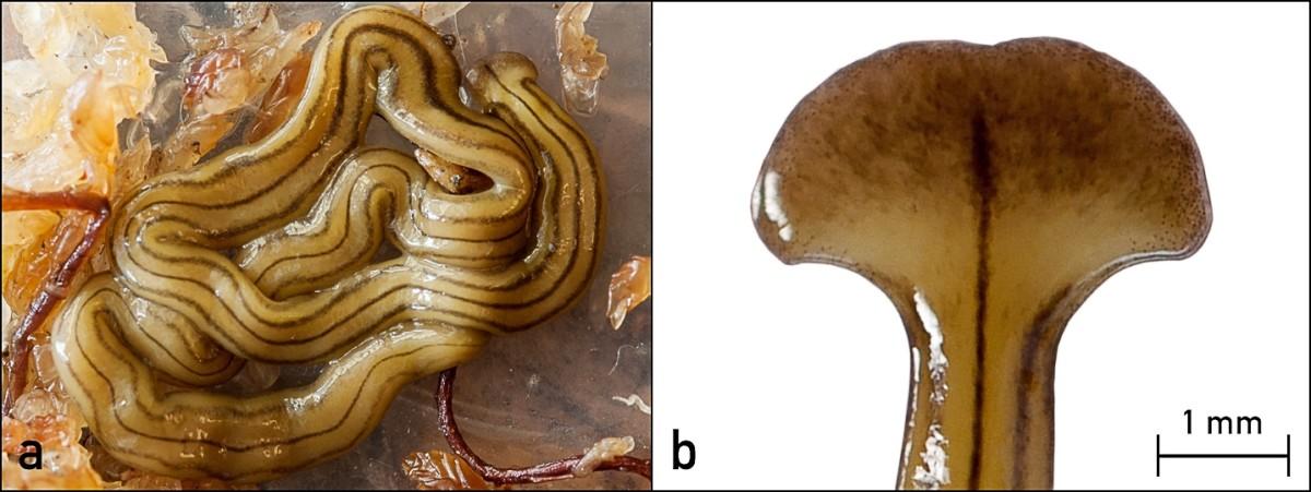 Diversibipalium multilineatum