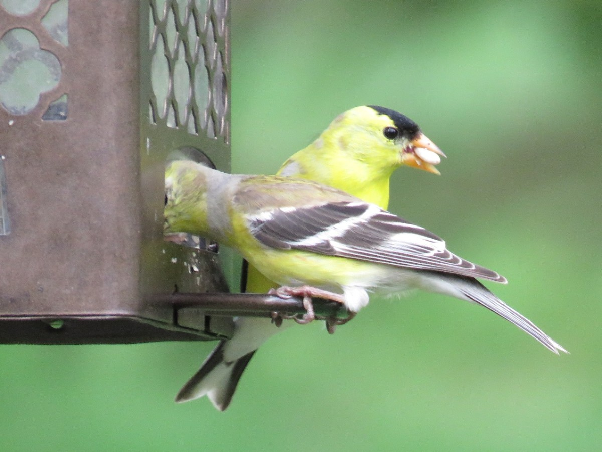 Overcrowded feeders have the potential to transmit disease.