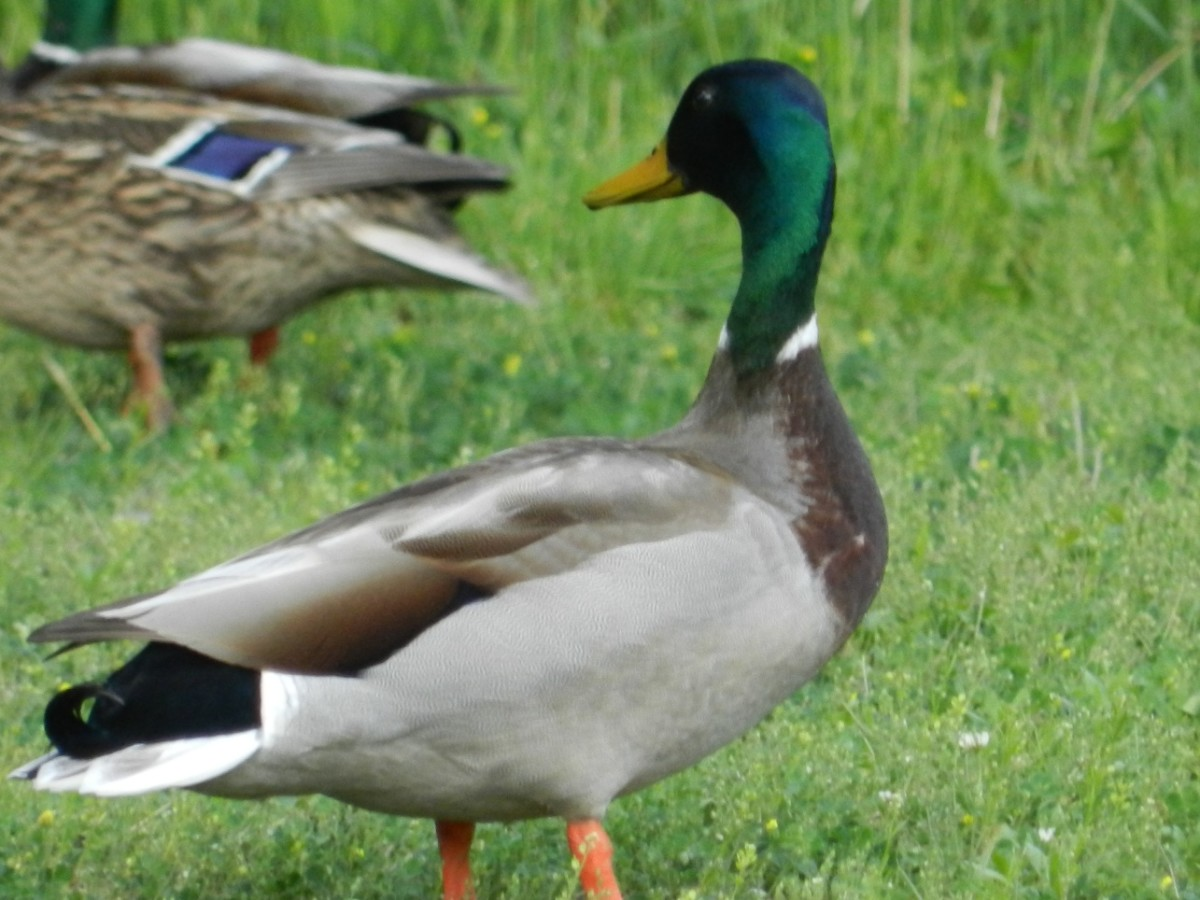 Feeding waterfowl may be harmful to their health.