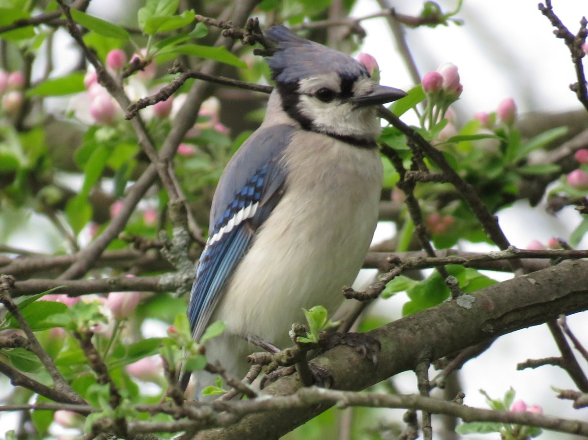 The Blue Jay is often blamed for nest predation behaviors.