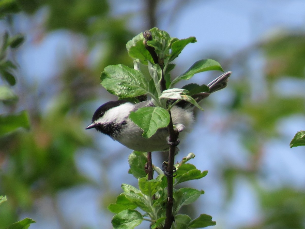 The Black-capped Chickadee loves bird feeders, but still hunts for insects in the treetops.