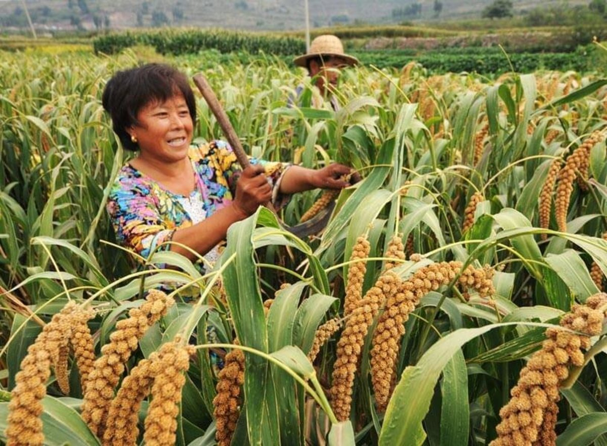 Millet, not rice, was the principal crop in Hebei.