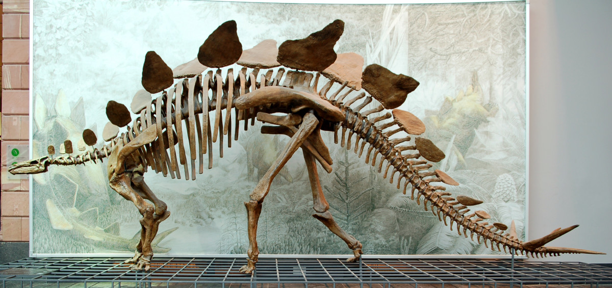 Cast of a Stegosaurus stenops skeleton (AMNH 650) in the Senckenberg Museum in Frankfurt am Main