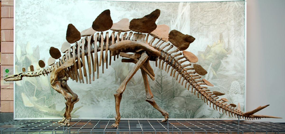 Cast of a Stegosaurus stenops skeleton (AMNH 650) in the Senckenberg Museum in Frankfurt am Main