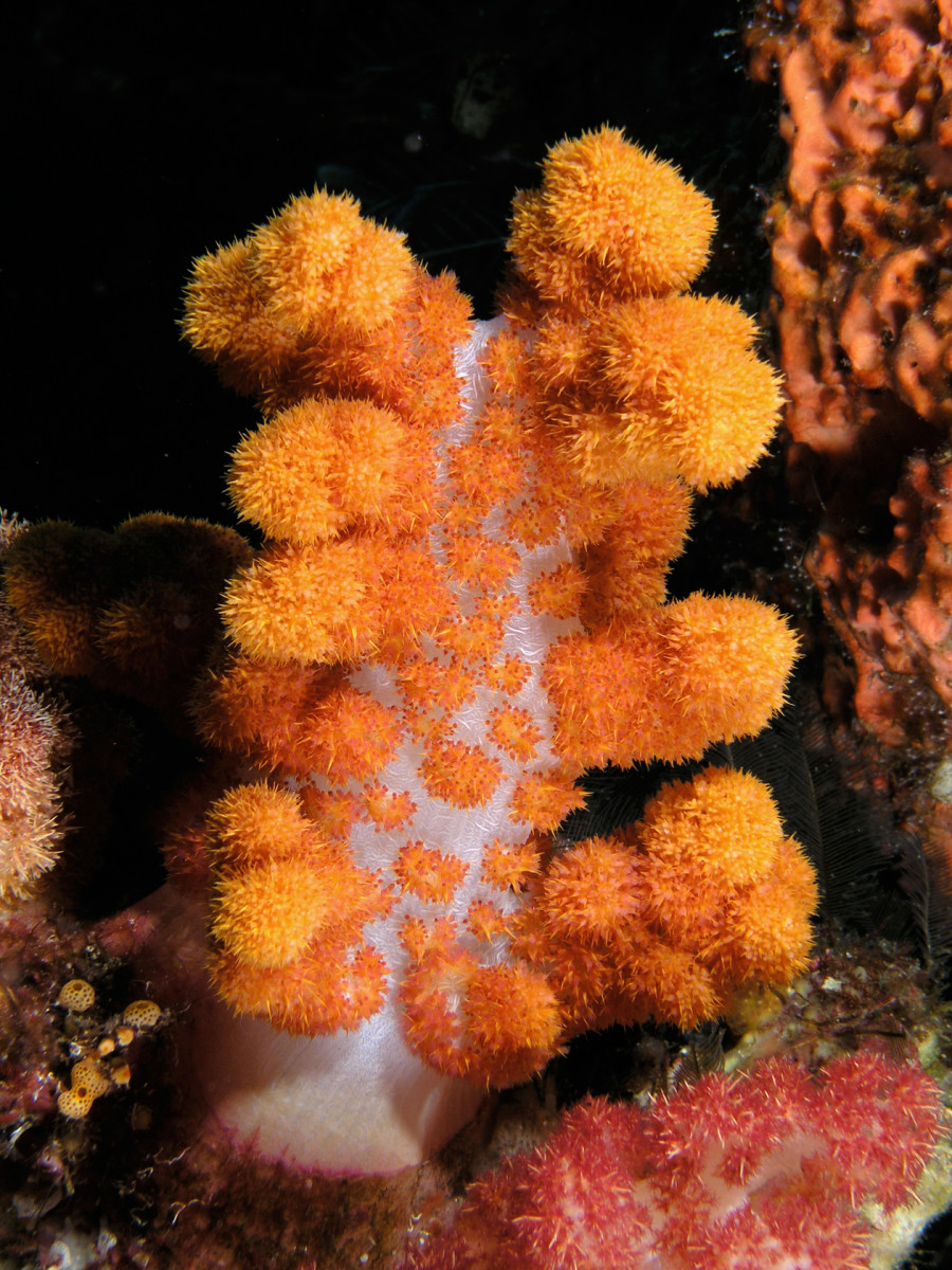 Invertebrate Animals: Corals