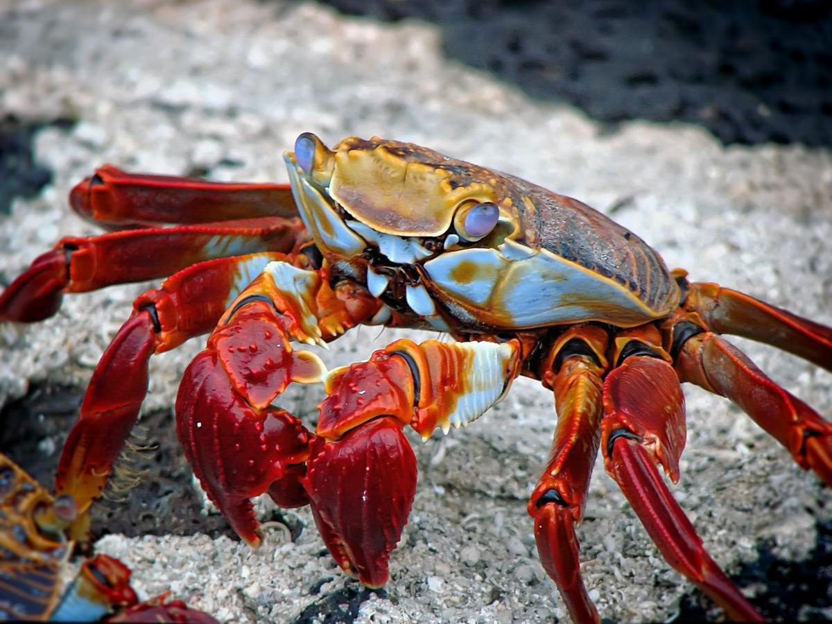 Invertebrate Animals: Crabs