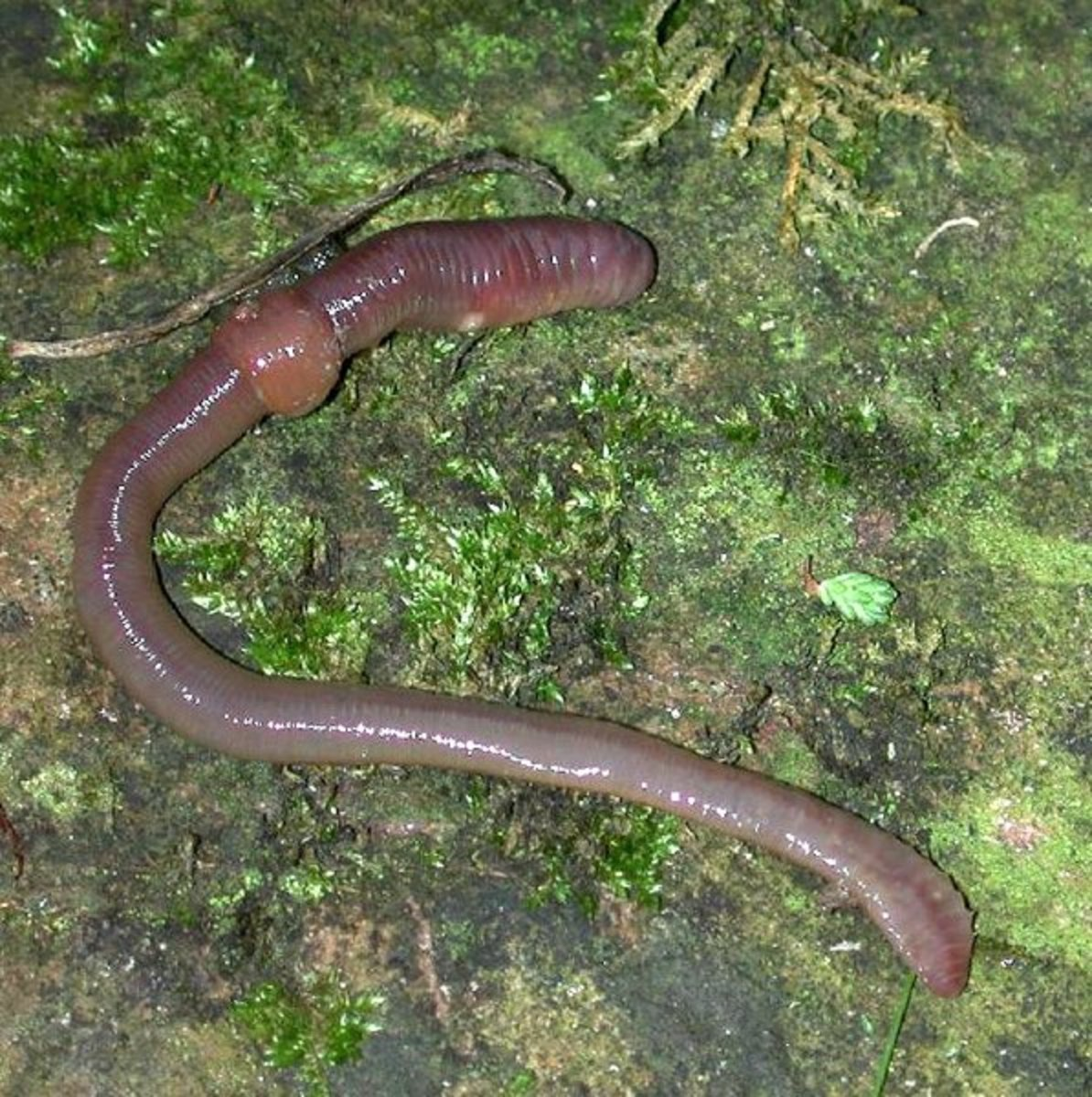 Invertebrate Animals: Earthworm