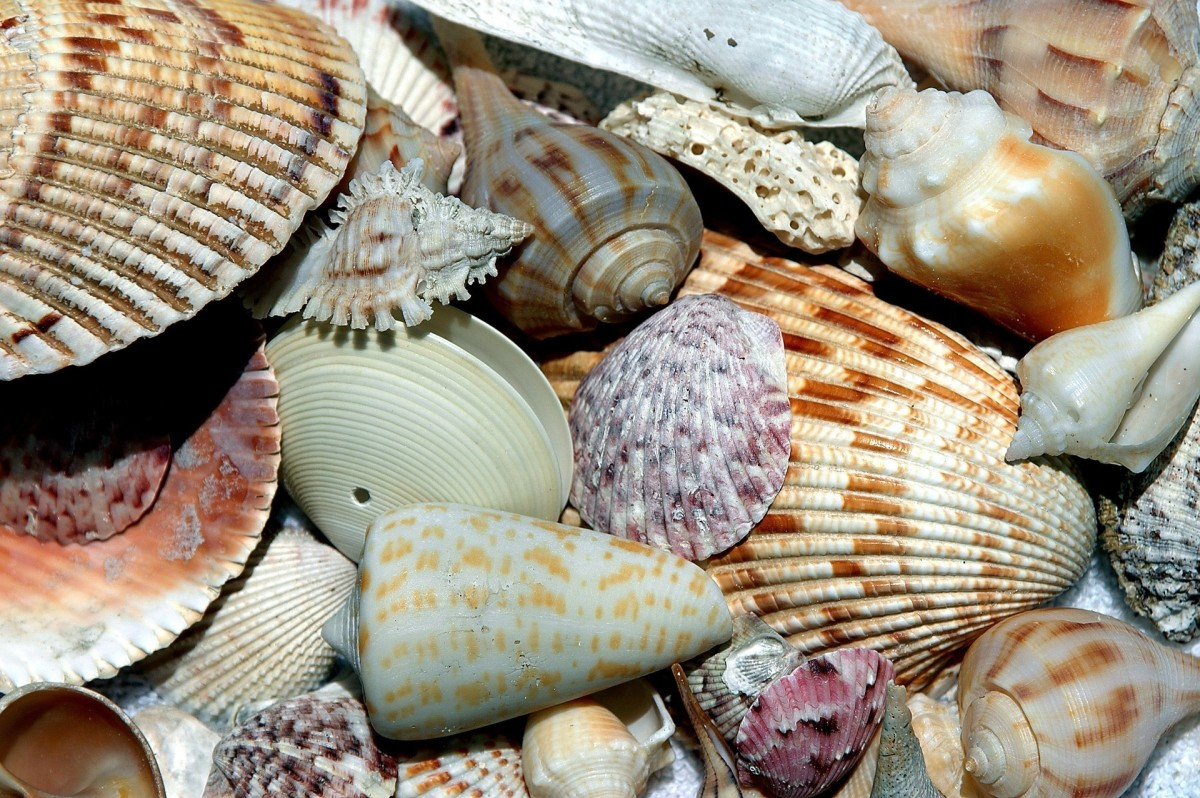 Invertebrate Animals: Sea shells