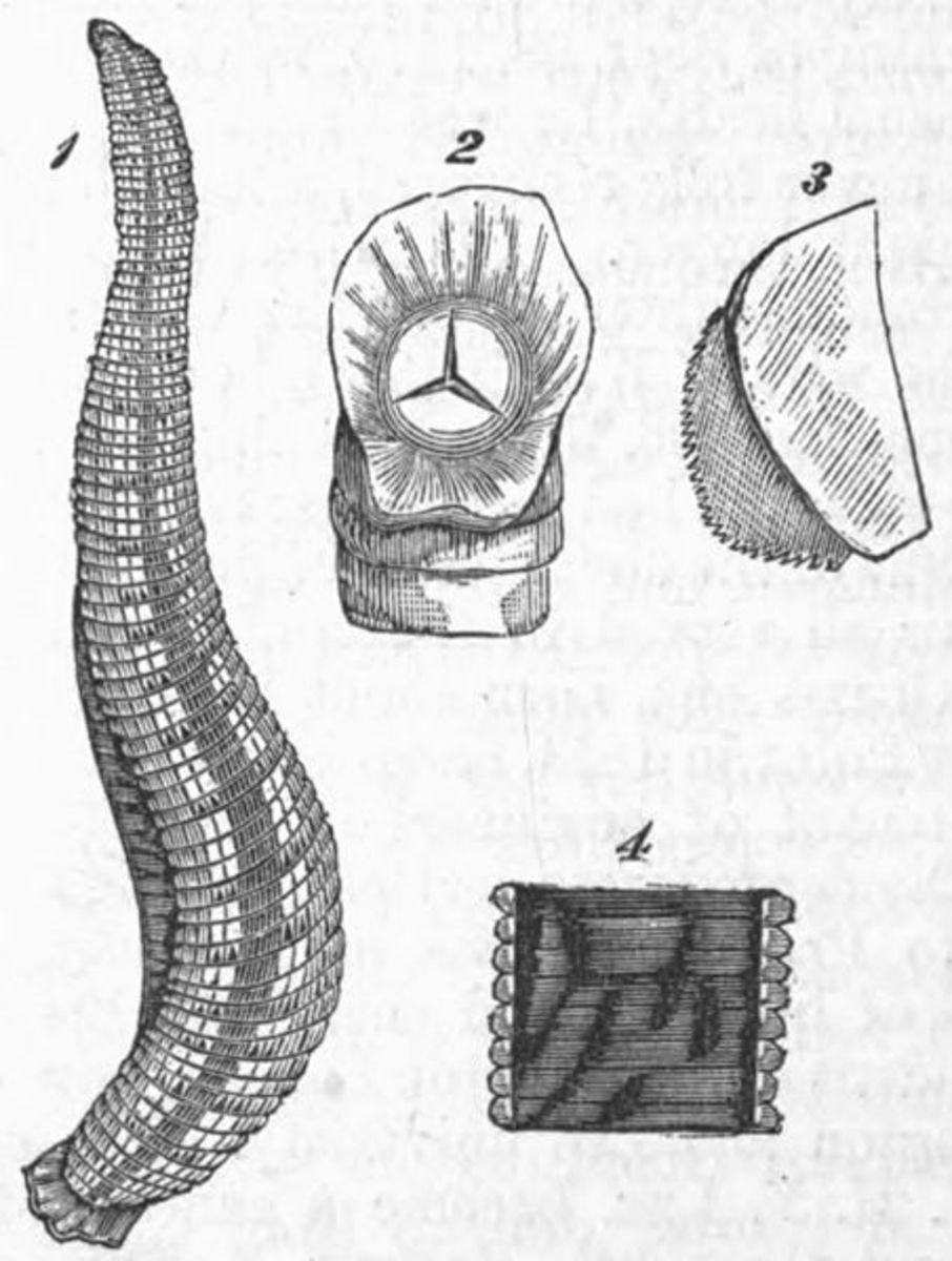 Scientific illustrations of leech anatomy