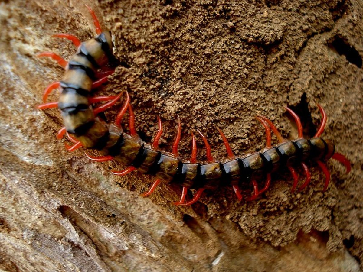 Invertebrate Animals: Centipede