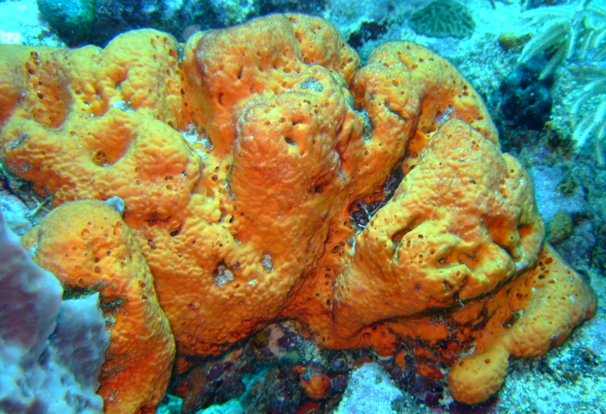 Unidentified Porifera photo from Wikipedia