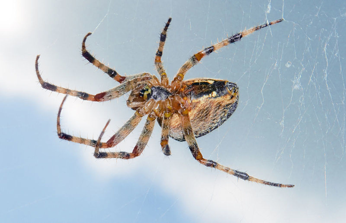 Invertebrate Animals: Spiders
